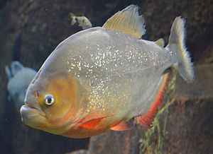 300px-Red_Piranha_Pygocentrus_Nattereri